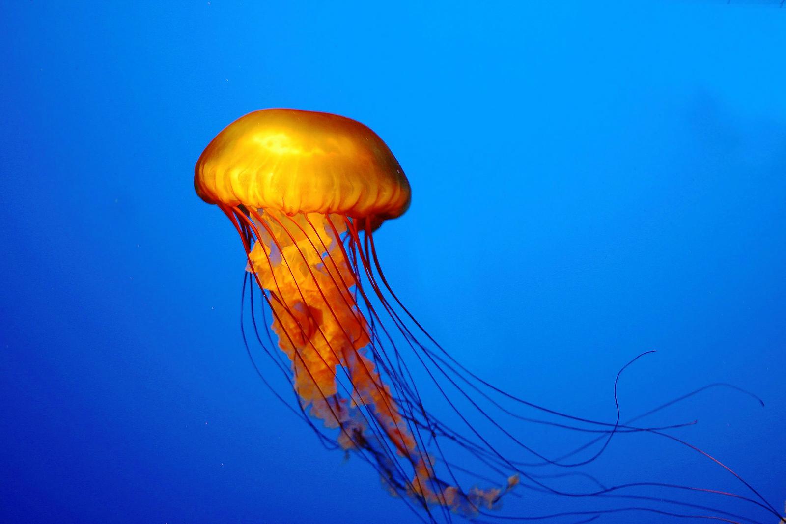 full hd wallpaper jellyfish - photo #26
