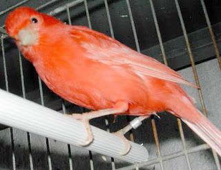 kenari merah www.burung45.blogspot.com