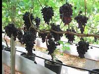 Tips Budidaya Anggur, Buah Banyak Manfaat & Menguntungkan