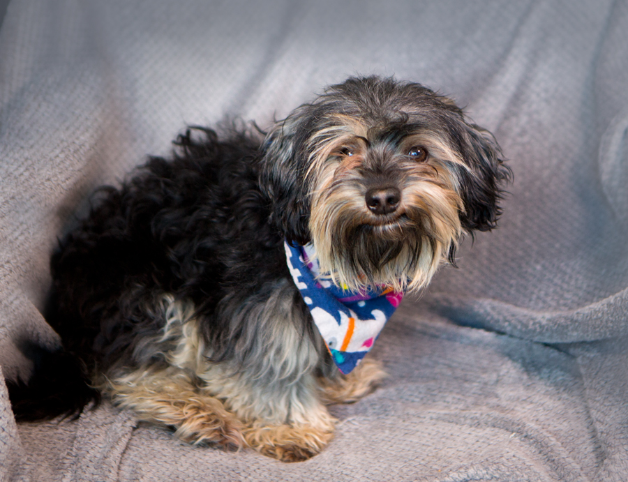 Shelter Dogs Of Portland Rascal Soft And Fluffy Shih Tzuterrier Mix