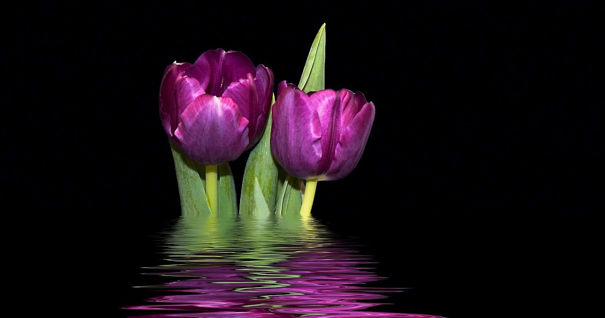 Purple Tulips Background   Black And White Ops Wallpaper