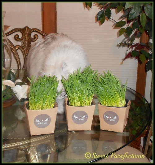 Truffle is behind the containers of #PetGrass Whisker Greens