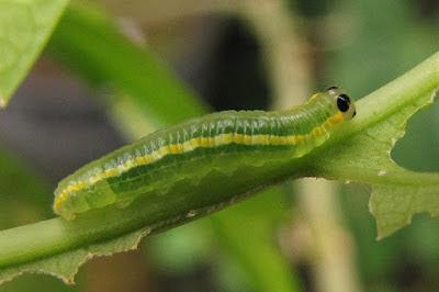 Greta oto - conhecida também como borboleta transparente ou borboleta das asas de vidro. Até mesmo a lagarta é transparente.