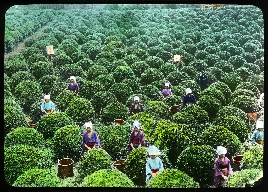 Chùm ảnh xưa về trà Nhật Bản 1