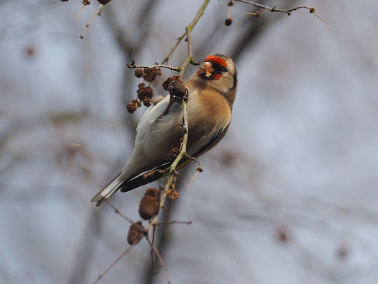Goldfinch Eating Alder Seeds
