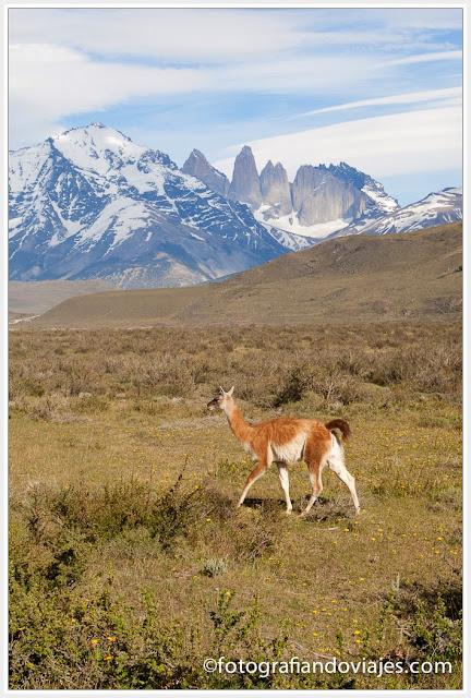 Guanacos en Torres del Paine (Chile)