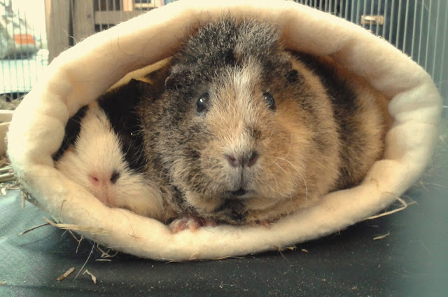 #AdoptDontShop Molly Emmeline guinea pigs bonded for life