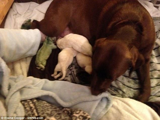 Cô chó có màu lông xanh lá cây cực hiếm trên thế giới