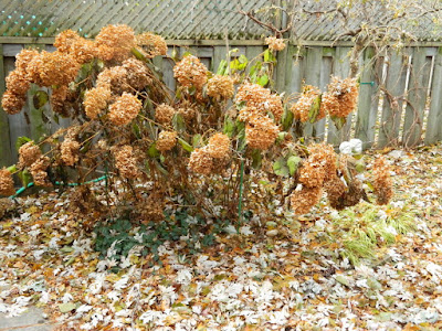 Greenwood-Coxwell Fall Garden Clean up Pruning Annabelle Hydrangeas before by Toronto Paul Jung Gardening Services