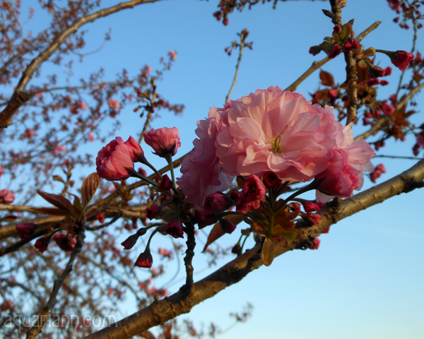 Kwanzan Cherry Tree Blossoms Photo by Aquariann