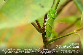 害虫のアオムシ