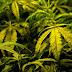 US approves first marijuana-derived drug