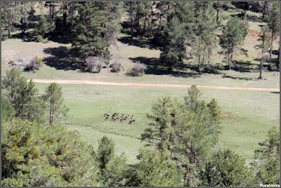 Rebaño de gamos en El Maíllo, a la vera del Arroyo De Las Truchas