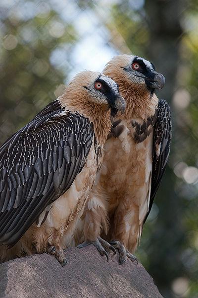 bearded vulture - photo #11