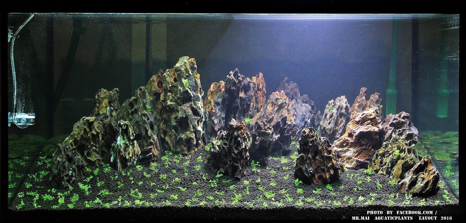 Cây trân châu được trồng thành từng cụm nhỏ trong giai đoạn đầu của hồ thủy sinh