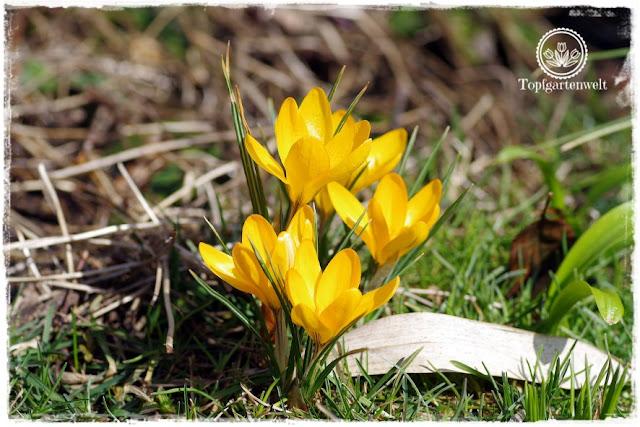 Gartenblog Topfgartenwelt Topfgarten + DIY mit Knagglig (Kiste) und Töpfen viel Platz auf kleinem Raum schaffen - Blumendeko mit Hornveilchen und Bellis passend für den Frühling und Ostern: Krokusse die ersten Frühlingsboten im Garten