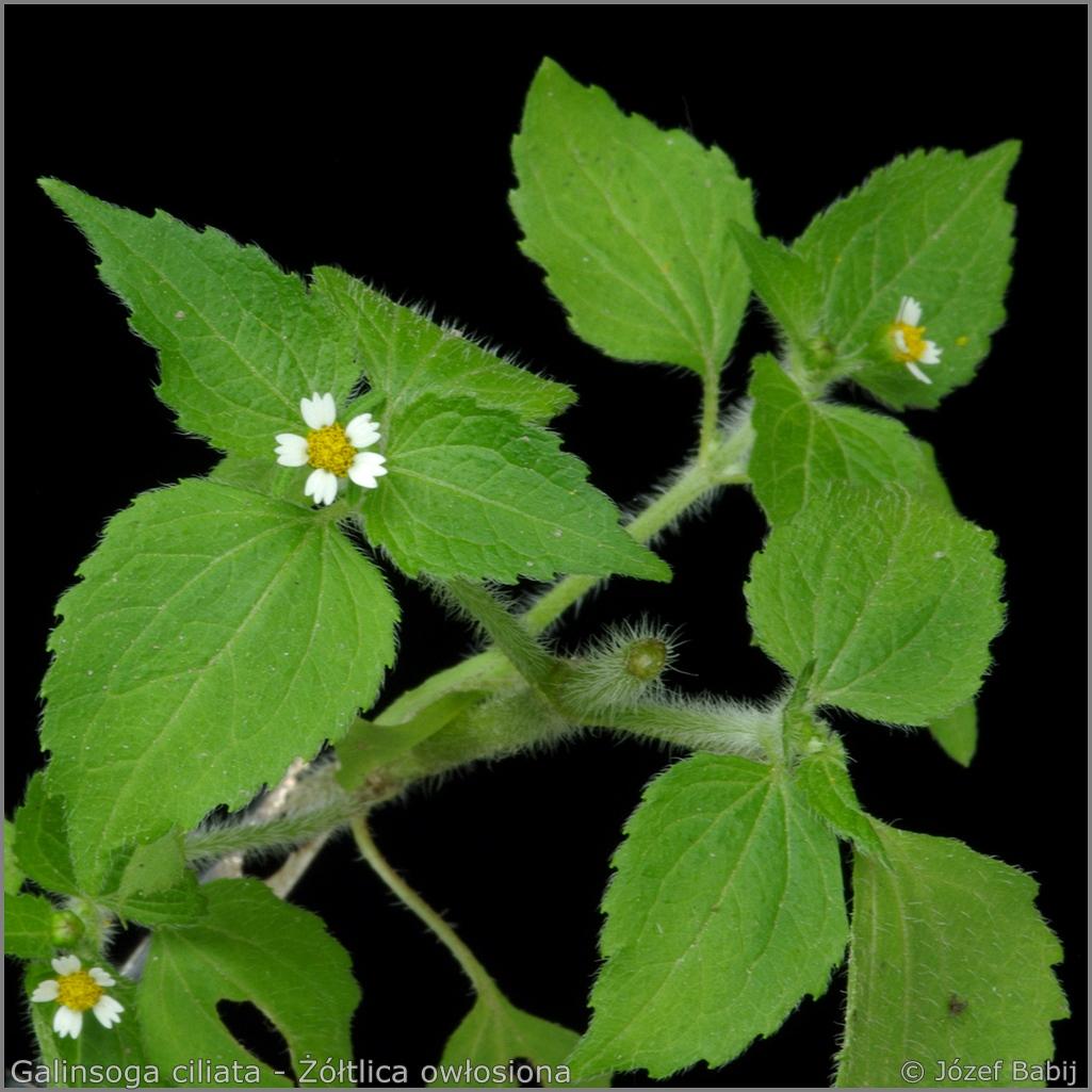 Galinsoga ciliata leaves and flowers    - Żółtlica owłosiona  liście i kwiaty
