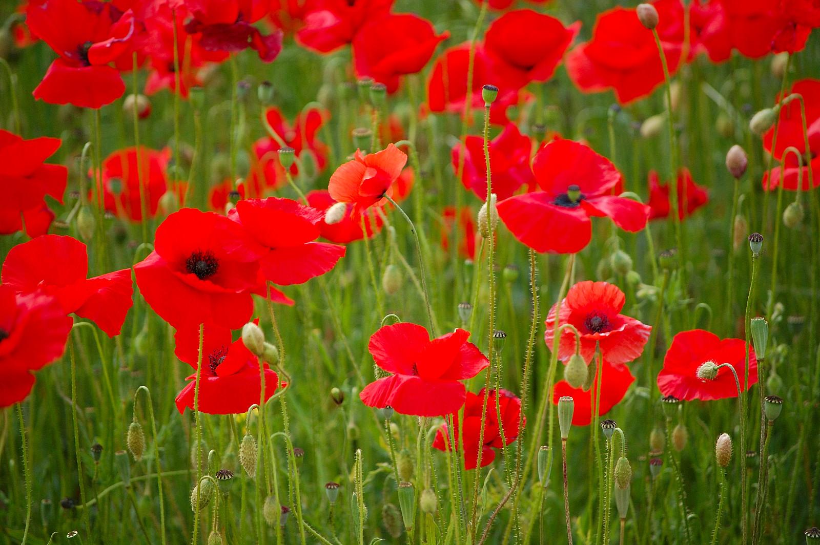 Kaylovesvintage: poppy love