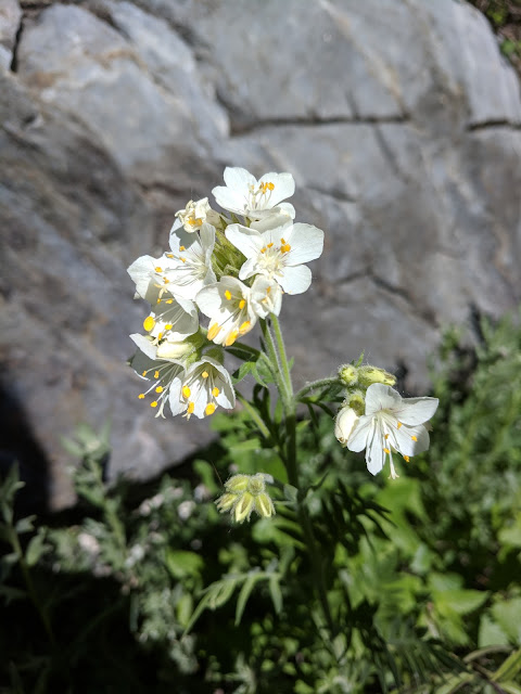 Towering Jacob's Ladder Flower on Dry Creek Trail Lone Peak Wildernesss