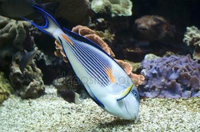 pez cirujano Acanthurus sohal