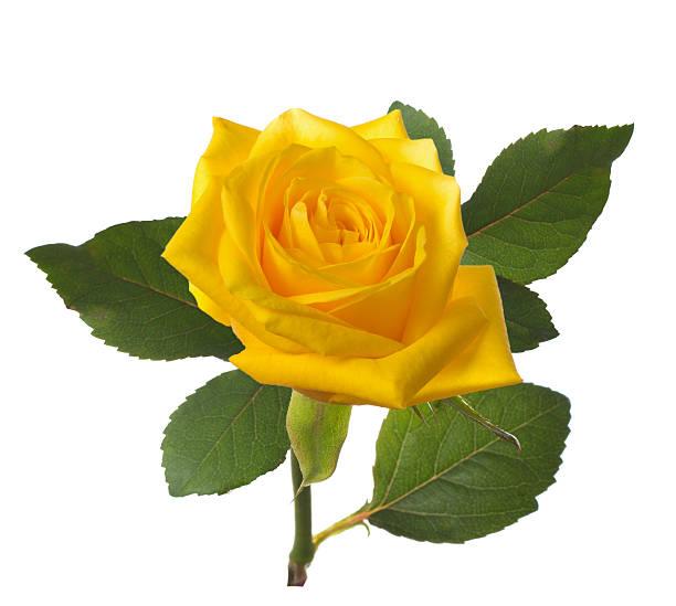 Hình ảnh đẹp hoa hồng vàng 1