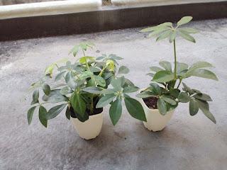 観葉植物の画像(植え替え前)