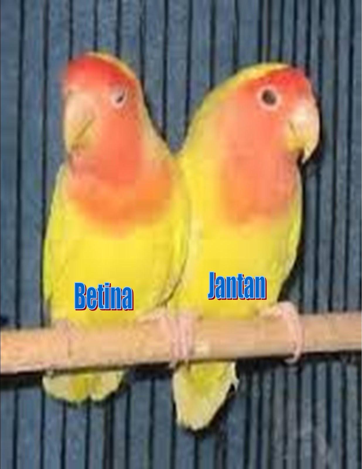 Lovebird Jantan Betina : lovebird, jantan, betina, Akurat, Membedakan, Jantan, Betina