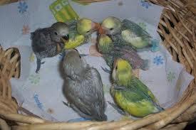 anakan lovebird baru menetas, anakan lovebird