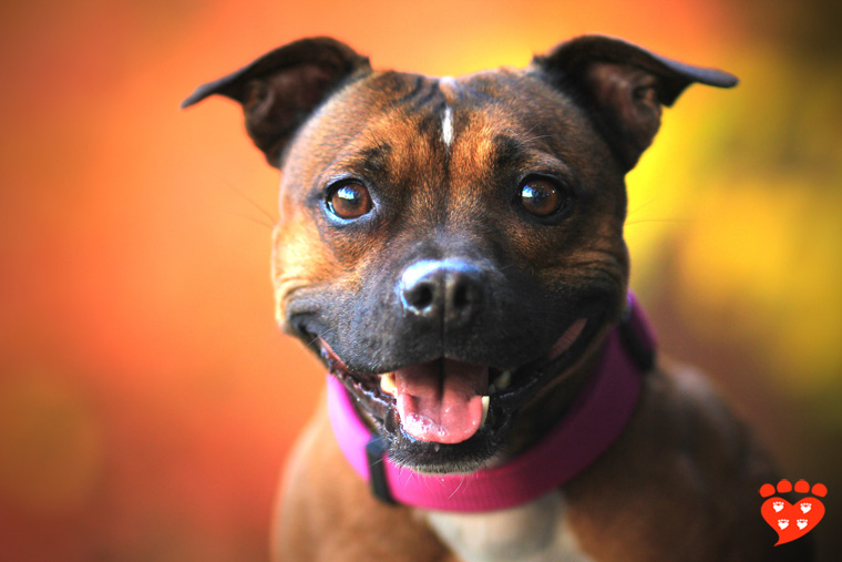 Portrait of a happy Staffordshire Bull Terrier