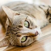Kedilerde İç Kanama