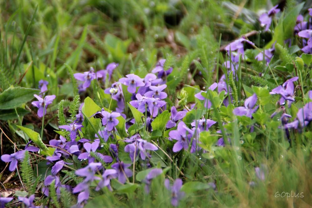 Keď jarné kvety kvitnú