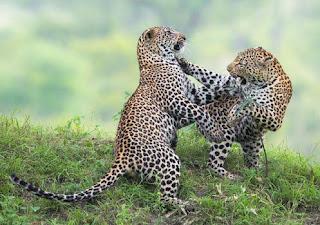 Leopardos jugando
