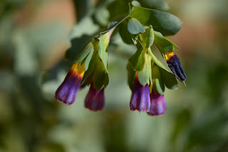 cerinthe major purpurea, honeywort, small sunny garden, amy myers, desert garden, garden bloggers bloom day