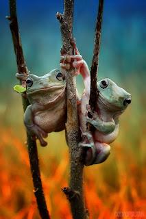 kurbağa prenses