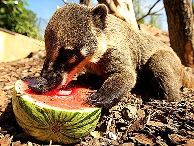 15 animals eating watermelons 15 pics amazing creatures