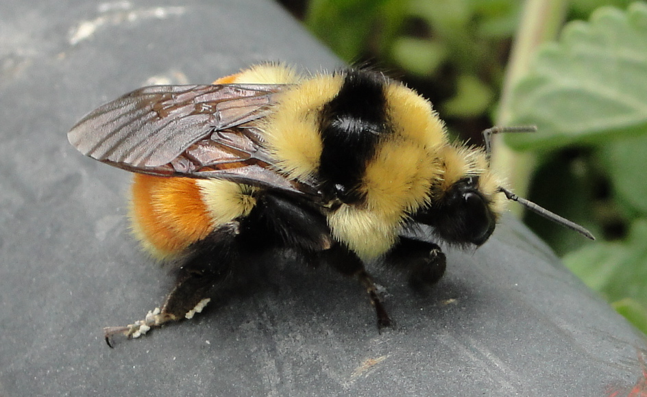 Fat Bee 111