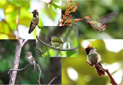 Quais são as menores aves do Brasil, as 5 menores aves do Brasil, menores pássaros do Brasil, pássaros, aves, birds, Smaller birds of Brazil, Pará, Tocantins, Amazônia, natureza, animais, animals, Extinção, animais pequenos, aves pequenas, pássaros pequenos