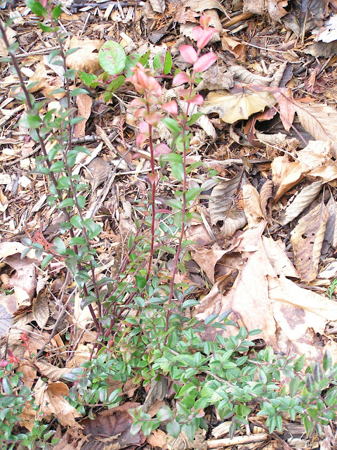 wild huckleberry edible wild plants