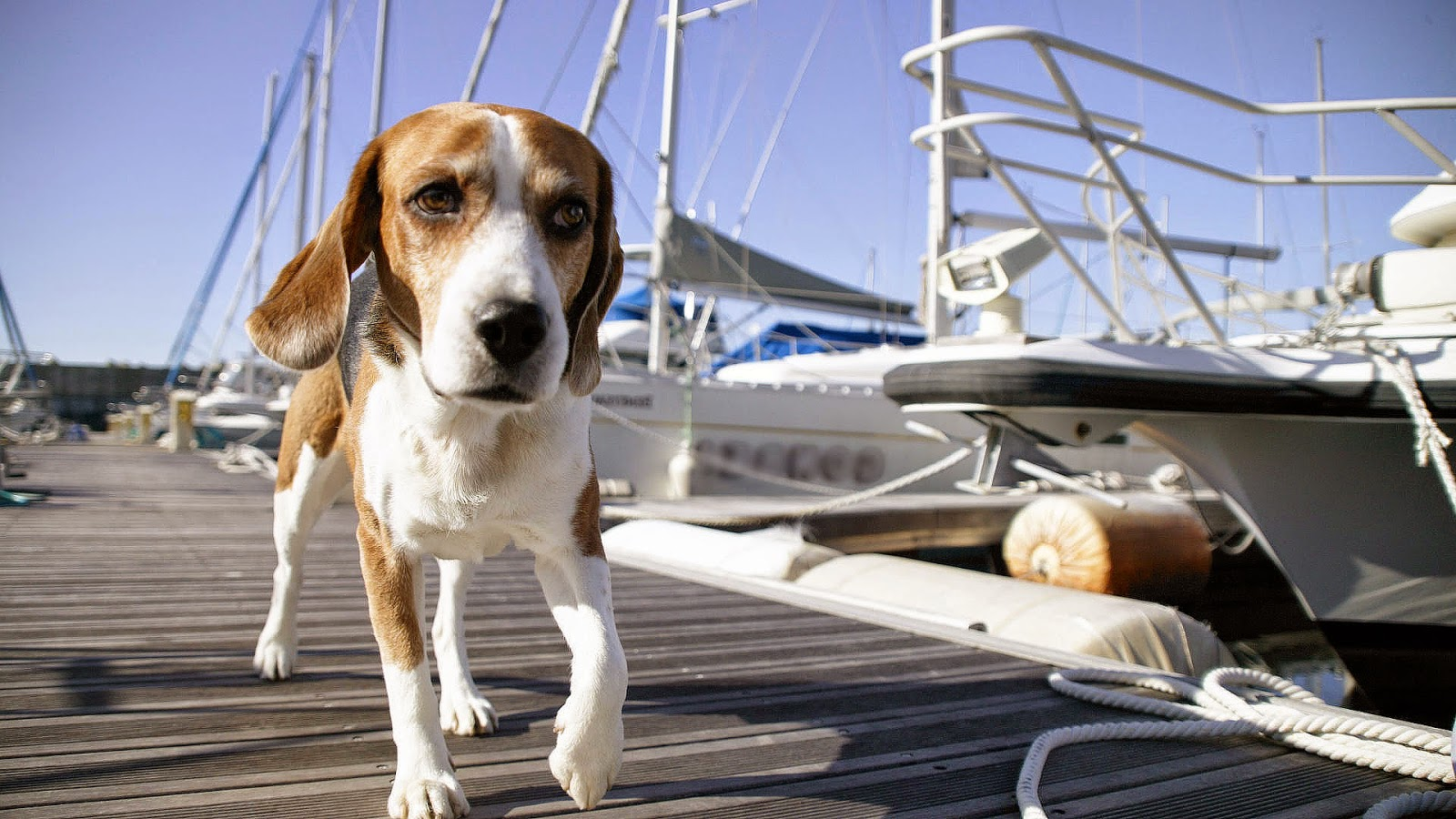 Bruin witte hond in de haven