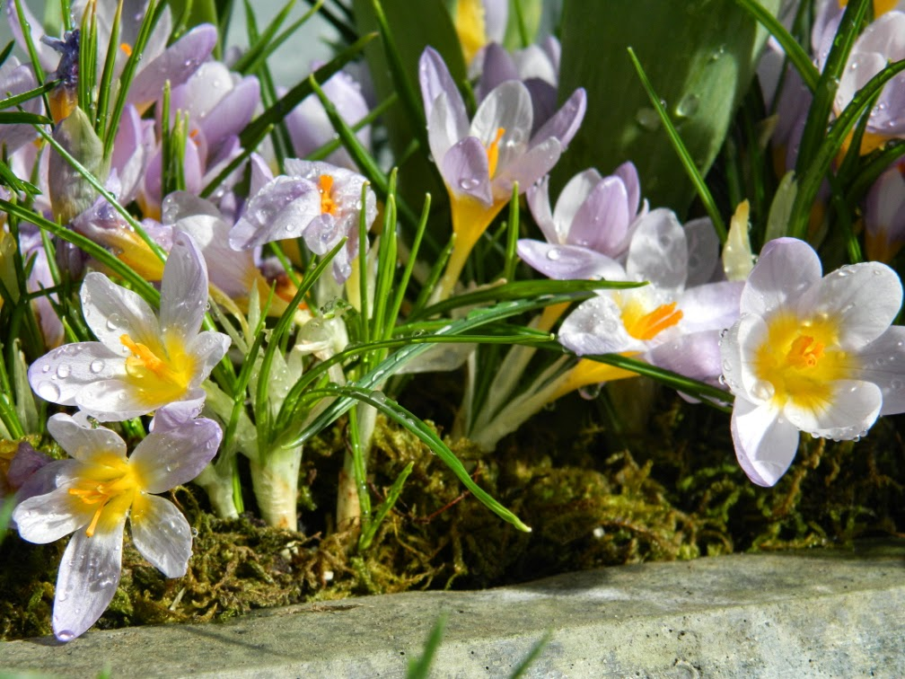 Crocus Allan Gardens Conservatory 2015 Spring Flower Show by garden muses-not another Toronto gardening blog