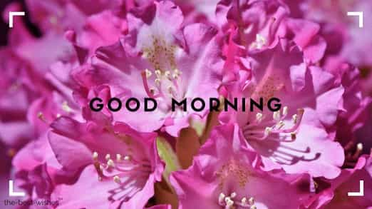 lovely pic of good morning with pink flowers