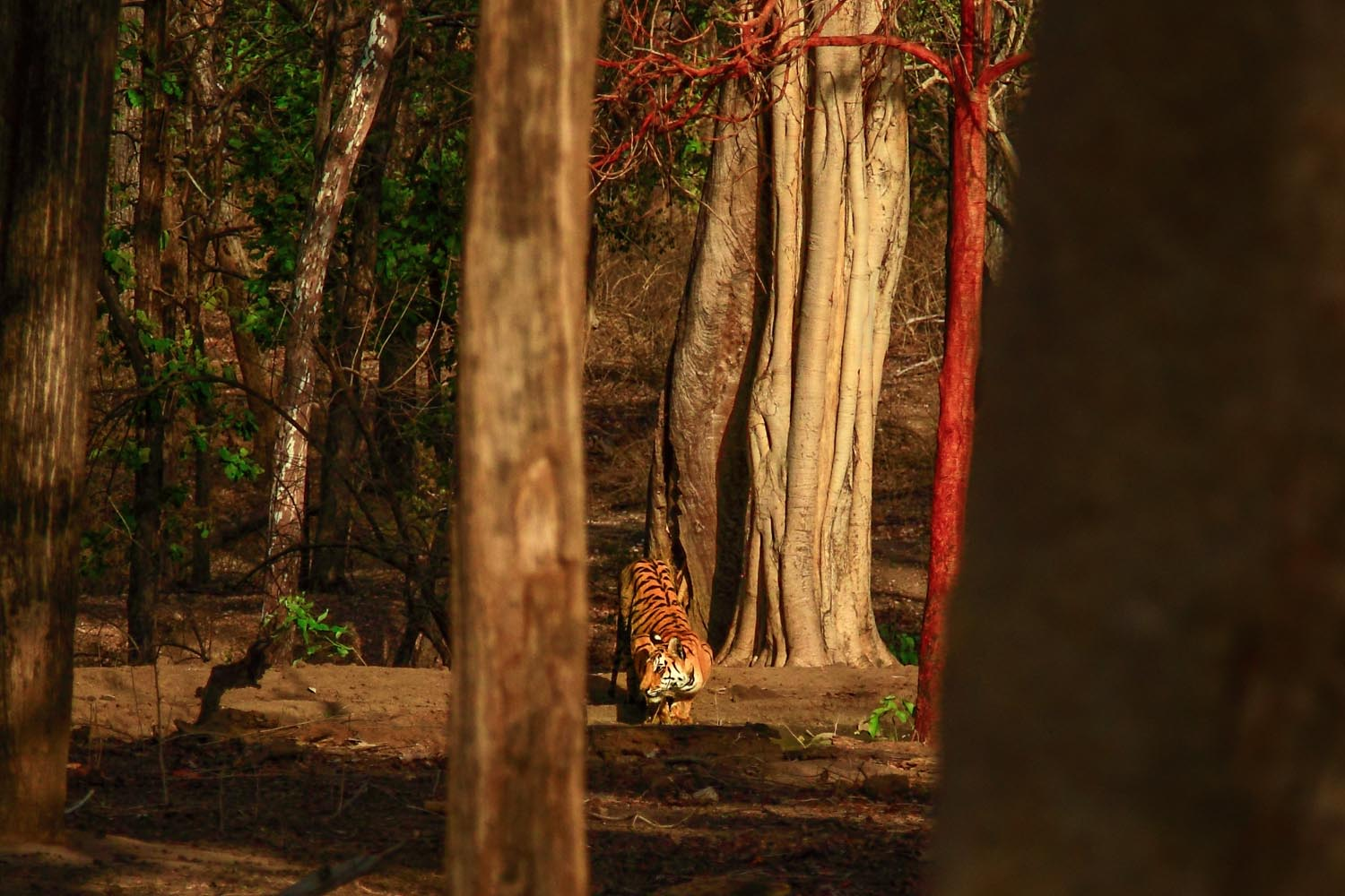 Collarwali's cub at a watering hole in Pench