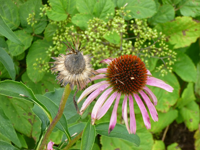 Echinacea purpurea (purple coneflower) before and after goldfinches devoured the seeds