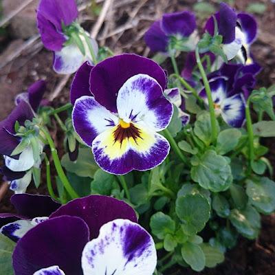 Småblomstret stemor, Viola