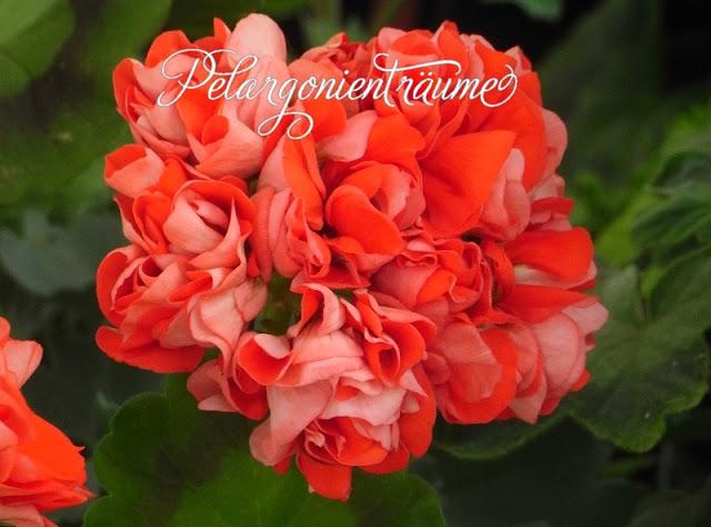orange-Rosengeranie-Rosenblütenpelargonie