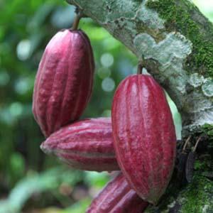 bisnis perkebunan kakao