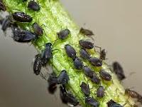 Tanaman Pengusir Hama Serangga