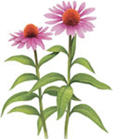 紫錐花,天然抗生素,提升免疫力的食物,預防感冒,自體免疫力,Nature Pure能量之漿