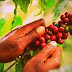 The PNG National Government Embarks on Repealing Current Coffee Export Law