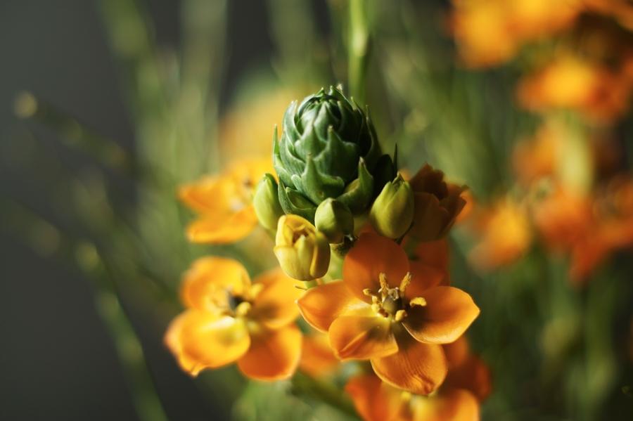 Blog + Fotografie by it's me! - Wohnen - Knospe von orangefarbenem Milchstern